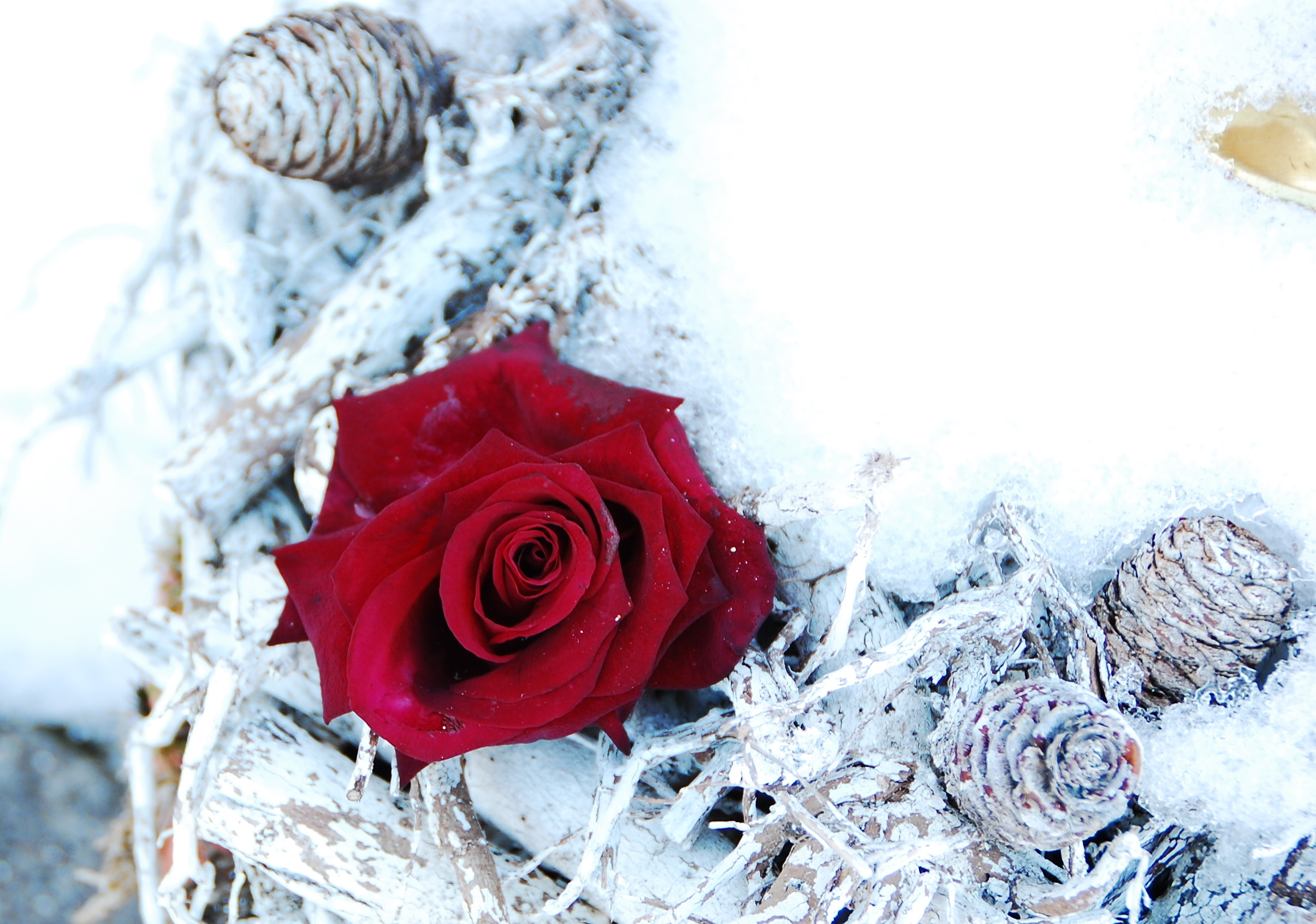 https://commons.wikimedia.org/wiki/File:Red_rose_in_snow_AB2013.JPG