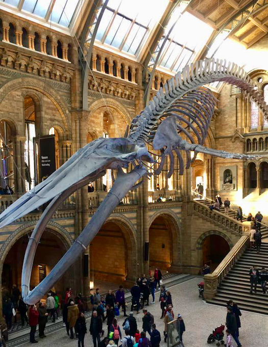 Visit 'Hope' at the Natural History Museum